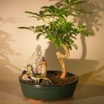 Hawaiian Umbrella Bonsai Tree – Coiled Trunk Stone Landscape Scene (Arboricola Schefflera 'Luseanne')