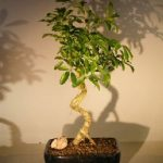 Hawaiian Umbrella Bonsai Tree – Large Coiled Trunk Style (Arboricola Schefflera 'Luseanne')
