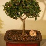 Chinese Elm Bonsai Tree Straight Trunk (ulmus parvifolia)