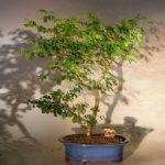 Flowering Brazilian Raintree Bonsai Tree Extra Large (pithecellobium tortum)