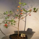 Flowering Mickey Mouse Bonsai Tree (ochna serrulata)