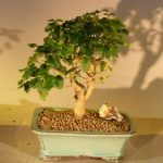 Flowering Ligustrum Bonsai Tree Straight Trunk Medium (ligustrum lucidum)