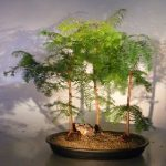 Redwood Bonsai Tree Three(3) Tree Forest Group (metasequoia glyptostroboides)