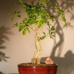 Hawaiian Umbrella Bonsai Tree Coiled Trunk Banyan Style (arboricola schefflera 'luseanne')