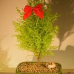 Lemon Cypress Bonsai Tree (cupressus macrocarpa)