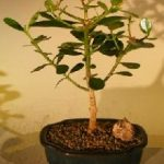 Flowering Tropical Dwarf Apple Bonsai Tree – Small (clusia rosea 'nana')