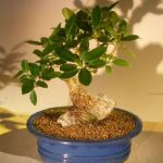 Green Emerald Ficus Bonsai Tree Root Over Rock Style (ficus microcarpa)