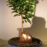 Ginseng Ficus Bonsai Tree Root Over Rock Style (Ficus Retusa)