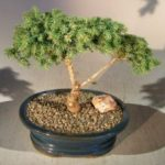 Dwarf Norway Spruce Bonsai Tree (picea abies 'pygmaea')