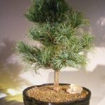 Japanese White Pine Bonsai Tree (pinus parviflora 'bergman')
