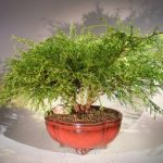 Green Thread Cypress Bonsai Tree (chamaecyparis pisifera 'golden mop')