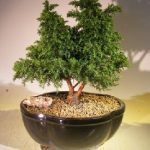 Cryptomeria Bonsai Tree- Large (japonica – tansu)