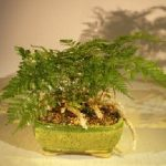 White Rabbit's Foot Fern Bonsai Tree (humata tyermanii)
