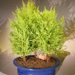 Lemon Cypress Bonsai Tree Three Tree Forest Group (cupressus macrocarpa)