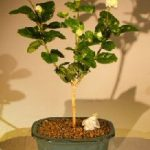 Flowering Grand Duke Jasmine Bonsai Tree (Jasminum sambac grand duke)