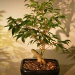 Oriental Ficus Coiled Bonsai Tree – Medium (ficus benjamina 'orientalis')