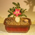 Flowering Desert Rose Bonsai Tree – Small (Adenium Obesum)<i/>