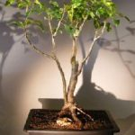 Flowering Gumbo Limbo – Root Over Rock (Bursera Simaruba)