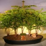 Norfolk Island Pine Bonsai Tree Forest Five Cluster Planting (araucaria heterophila)
