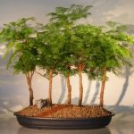 Redwood Bonsai Tree – 5 Tree Forest Group (metasequoia glyptostroboides)