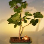 Brown Turkey Fig (ficus carica)
