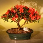 Flowering Red Azalea ('Hino Crimson' (Kurume)