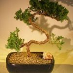 Juniper Bonsai Tree – Trained (juniper procumbens 'nana')