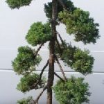 Juniper Bonsai Tree – Pom Pom Style (juniper procumbens nana)