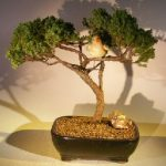 Juniper Bonsai Tree – Trained with Bird (juniper procumbens nana)