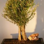 Flowering Tropical Boxwood Bonsai Tree (neea buxifolia)