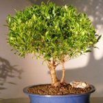 Ficus Retusa Double Trunk (Melon Seed)