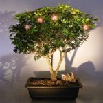 Flowering Dwarf Powder Puff Bonsai Tree (Calliandra Haematocephala)