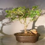 Flowering Premna Bonsai Tree (premna obtusifolia)