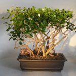 Flowering Tropical Dwarf Apple Bonsai Tree Banyan Style (clusia rosea 'nana')