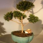 Brush Cherry (Pom-Pom) Style Bonsai Tree (eugenia myrtifolia)