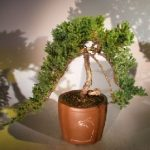 Weeping Juniper Bonsai Tree (juniper procumbens nana)