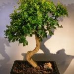 Flowering Ligustrum Bonsai Tree Curved Trunk Style (ligustrum lucidum)