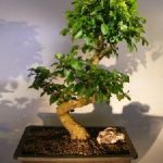Flowering Ligustrum Bonsai Tree Curved Trunk Style) (ligustrum lucidum)