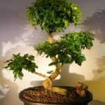 Flowering Ligustrum Bonsai Tree Curved Trunk & Tiered Branching Style (ligustrum lucidum)