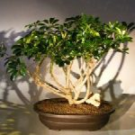 Hawaiian Umbrella Bonsai Tree (arboricola schfflera)