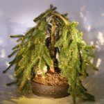 Dwarf Weeping Norway Spruce Bonsai Tree (picea abies 'glauca pendula')