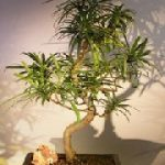Flowering Podocarpus Bonsai Tree Curved Trunk Style (podocarpus macrophyllus)