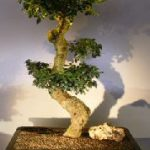 Flowering Fukien Tea Bonsai Tree Curved Trunk & Tiered Branching (ehretia microphylla)