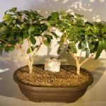 Flowering Ligustrum Bonsai Tree Two Tree Group (ligustrum lucidum)