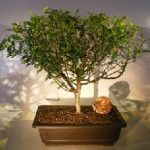 Flowering Chinese Pepper Bonsai Tree (zanthoxylum piperitum)