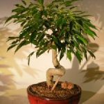 Oriental Ficus Bonsai Tree Coiled Trunk (benjamina 'orientalis')