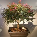 Flowering Chinese Fringe Bonsai Tree (loropetalum chinensis)