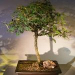 Flowering Princess Earrings Bonsai Tree (dichrostachys cinerea)