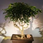 Hawaiian Umbrella Bonsai Tree Exposed Roots (arboricola schefflera)