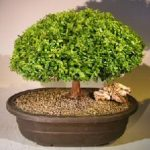 Japanese Kingsville Boxwood Bonsai Tree (buxus microphylla compacta)
